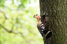 Hoopoe Feeding Chicks