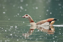 Close-up Of Egyptian Goose Or ...