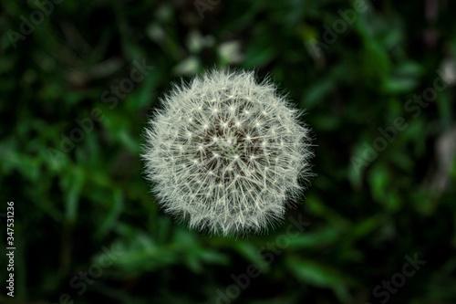 Piękny symetryczny okrągły puszysty Dmuchawiec, w leśnej trawie wiosną - 347531236