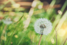 Soft Focus Dandelion Seedhead In Grass Fields On Sprig Time. Blooming Wild Flowers  With Blurry Boken Of Natural And Sunlight   Background. Fresh Nature In The Morning Concept