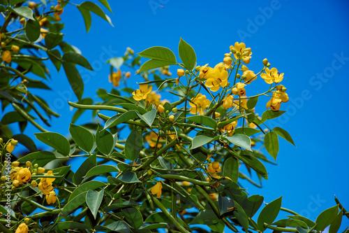 Carta da parati Flower -Senna Viarum