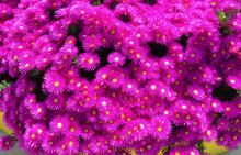 High Angle View Of Pink Mesembryanthemum Flowers Blooming Outdoors