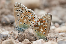 Close-up Of Two Adonis Blue Bu...