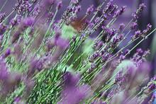 Lavendel Mit Taubenschwänzchen
