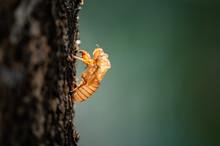 Cicada Molt On Tree