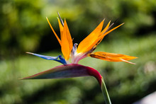 Strelitzia Is A Genus Of Five Species Of Perennial Plants, Native To South Africa. Bird Of Paradise.