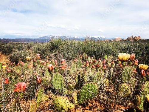 Fotografija Cacti in Arches National Park, Utah