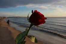 Close-up Of Rose On Beach Against Sky