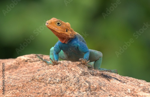 Photo Agama agama lizard