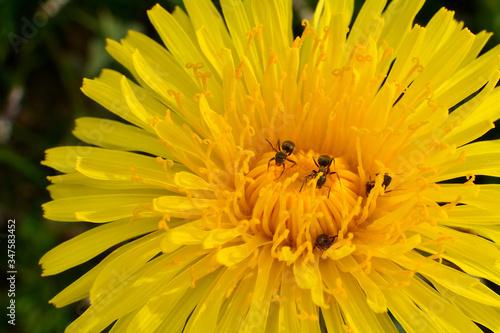 mrówki na mniszku lekarskim - 347583452