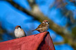 Mazurki na dachu - ptaki mieszkające blisko ludzi