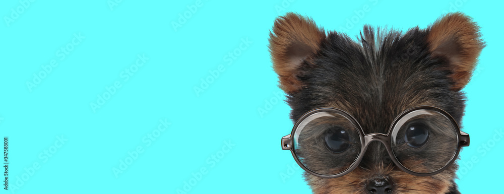 Fototapeta Yorkshire Terrier dog hiding his face from camera, wearing eyeglasses
