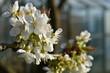 Wiosna budzi się do życia - kwiat czereśni