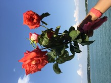 Cropped Image Of Hand Holding Roses Against Sea