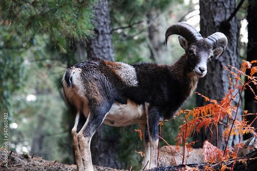 Fotografiet Retrato de un muflón común o europeo en el bosque