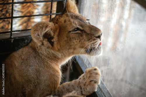Photo Close-up Of Lion Cub Licking Glass In Cage