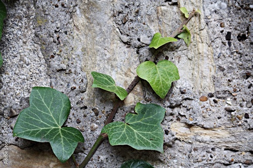 Canvas Creepers Growing On Rock Outdoors