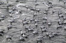 Seagulls Swimming In Sea