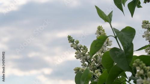 Fotografia Gałązka białego bzu na tle nieba