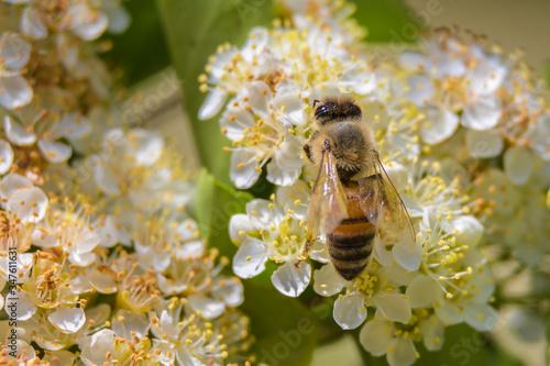 Fotografia ape in primo piano su fiori bianchi