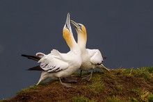 High Angle View Of Gannets On Field By Sea