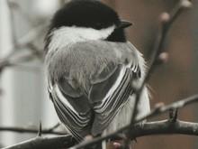 Close-up Of Carolina Chickadee On Twig