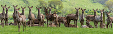 Panoramic View Of Deer Standing On Grassy Field