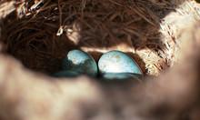 The Common Blackbird Turdus Me...