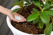 Fertilizing Potted Rhododendron With Granulated Fertilizer