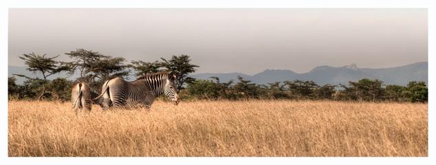 Zebras On Field Against Clear Sky