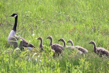 Canada Goose With Goslings Wal...
