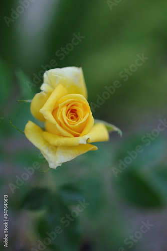 Close-up macro view of a single small fresh yellow rose in the garden