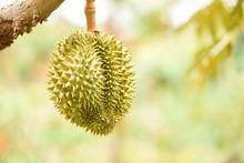 Fresh Durian Fruit Hanging On ...