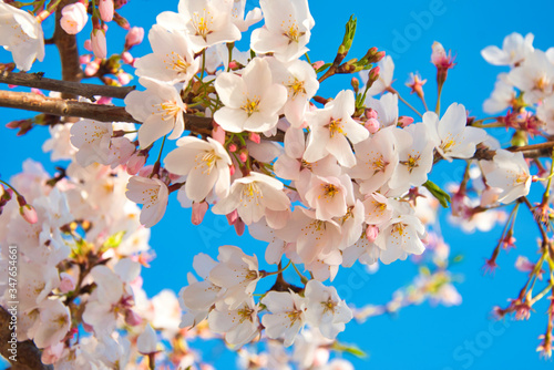 Cherry blossoms captured during a beautiful spring day in Washington, D Wallpaper Mural