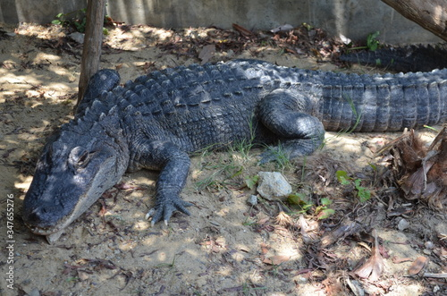 High Angle View Of Alligator On Field Canvas Print