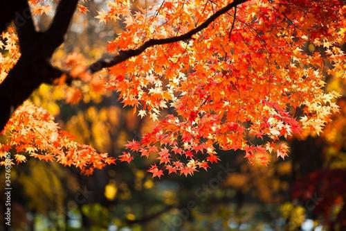 Close-up Of Maple Tree During Autumn Fototapet