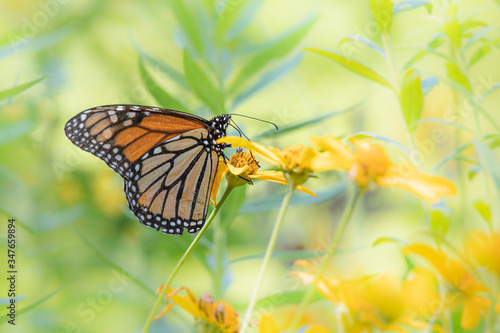 A monarch butterfly feeds on yellow daisies in a Pennsylvania meadow Canvas Print