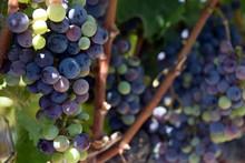 Zinfandel Grapes In Veraison, ...