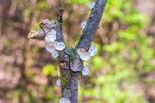 Little Nest Polypore (Trametes Conchifer) Growing On A Stick