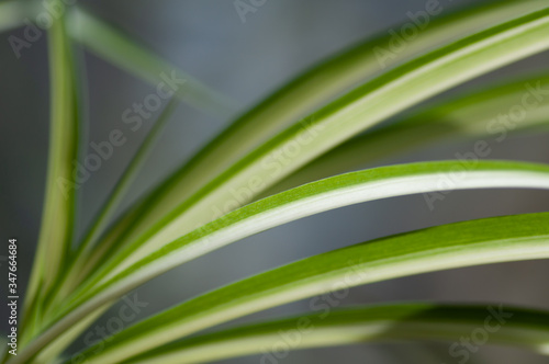 Close up of the fresh leaves of the chlorophytum. Botanical macrophotography for illustration of chlorophytum. #347664684