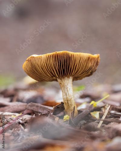 Valokuvatapetti Spring fieldcap (Agrocybe praecox) mushroom growing in woodchips