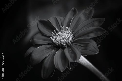 Macro Shot Of Daisy Flower Tapéta, Fotótapéta