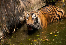 High Angle Portrait Of Tiger In Water At Zoo
