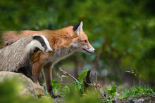 Red Foxand Badger, Beautiful A...