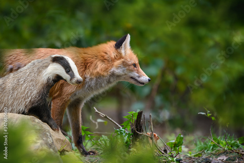 Canvas-taulu Red Foxand badger, beautiful animal on green vegetation in the forest, in the na