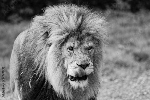 Slika na platnu Lion Standing On Field At Forest