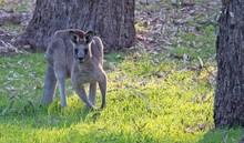Kangaroo Crouching And Ready To Move