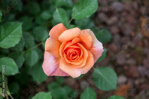 High angle shot of a peach rose surrounded by greenery in a garden under the sunlight
