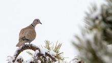 Eurasian Collared Dove In Winter