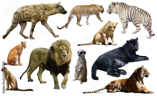 Canvastavla Set of wild mammals isolated over white